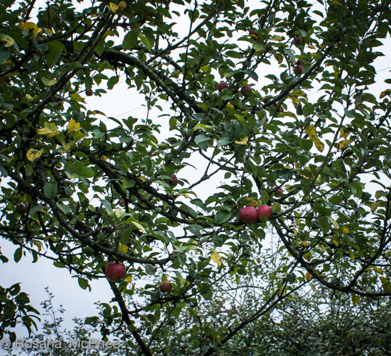 apple tree, Apples in Normandy, cider apples